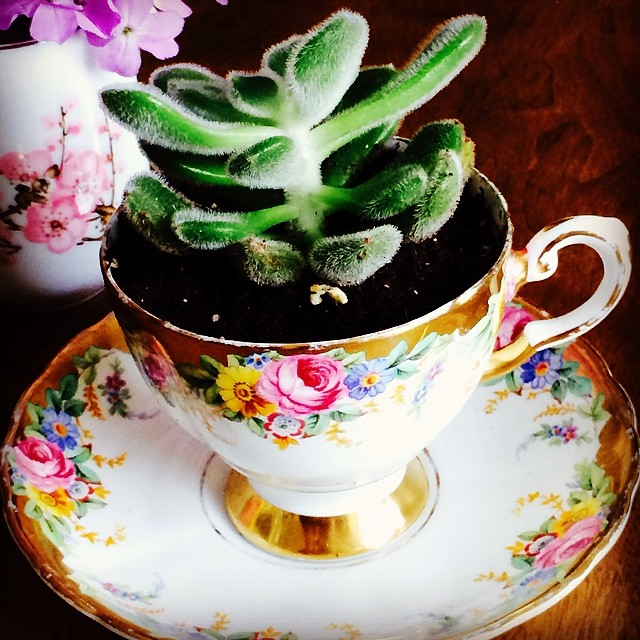 "Another beautiful succulent in a gorgeous Tuscan ""Garland"" cup. Keep or gift? What would you do? #teacup #plant #garden"