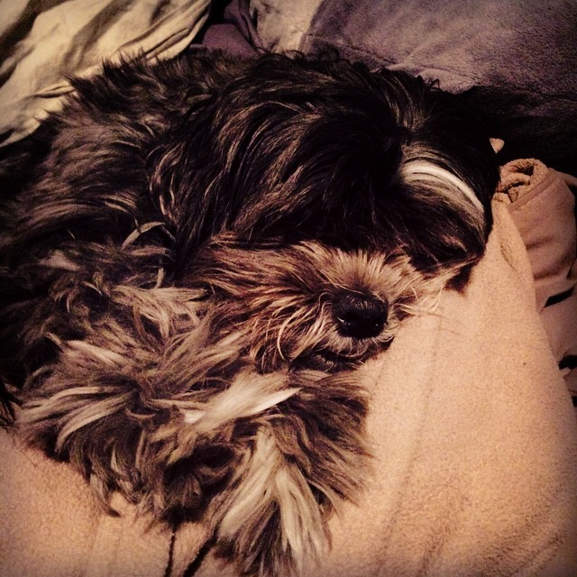 A certain someone has made it impossible to make the bed. #furkid #shorkie #puppy