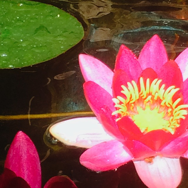 My pond is in full bloom. #happiness #blessed